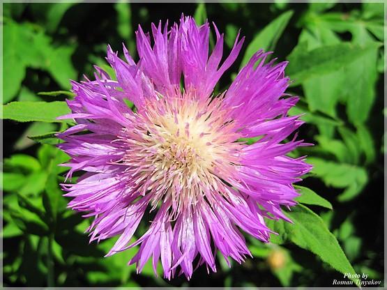Макро съемка цветка