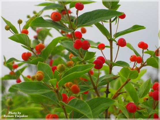 фото вовчої ягоди