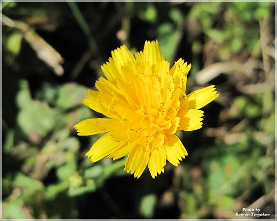 Полевой желтый цветок название