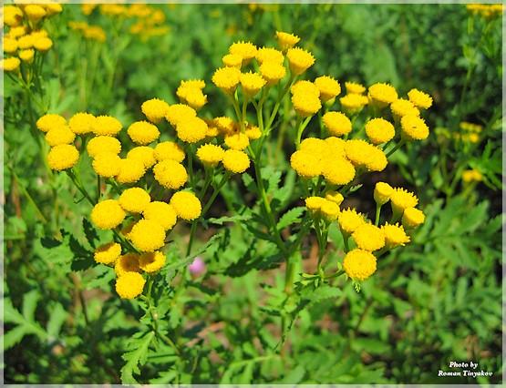 Желтые полевые цветы фото с названиями