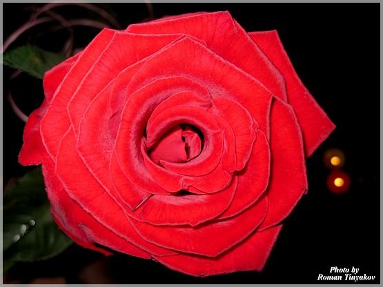 Роза ночью