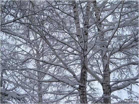 Берёзы в снегу