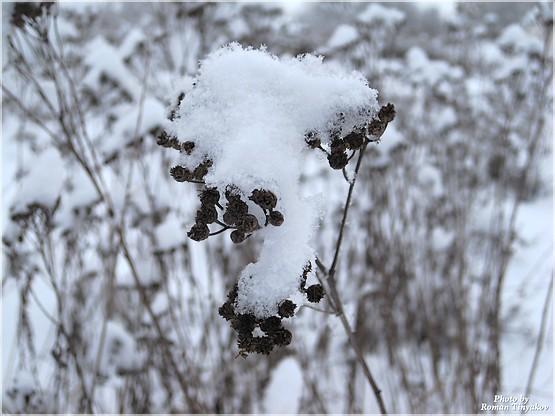 Пижма в снегу