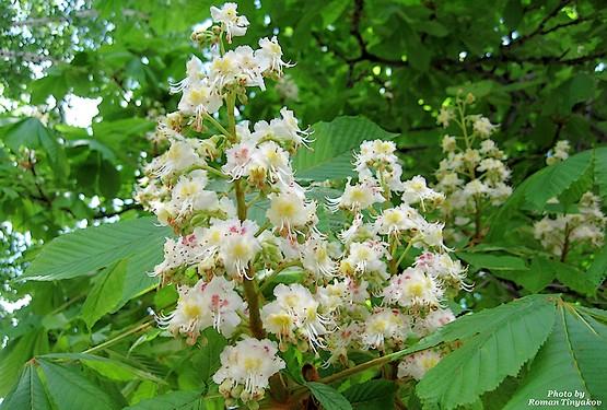 Каштаны цветут