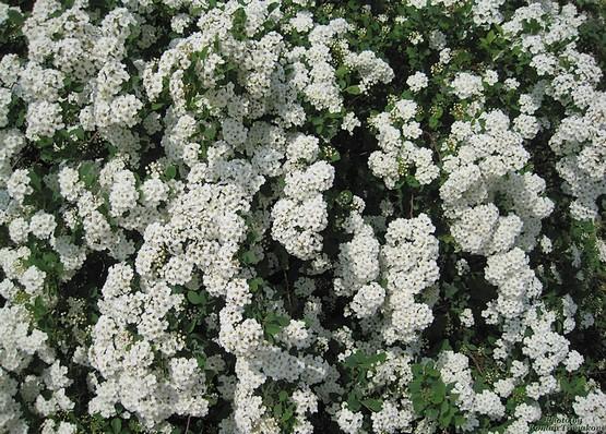 Белые цветы кустарника