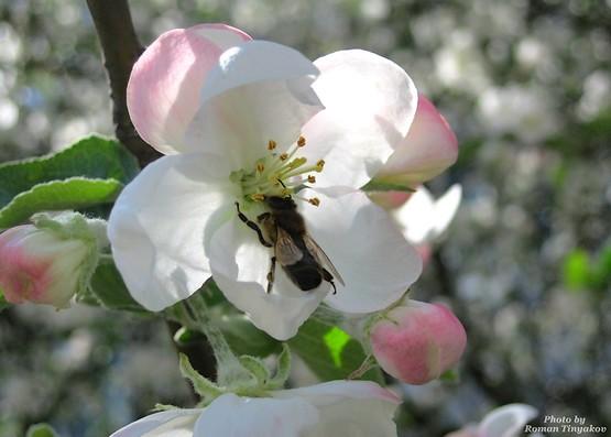 Пчела за работой