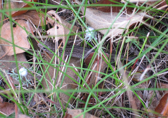 Ящерица в засаде