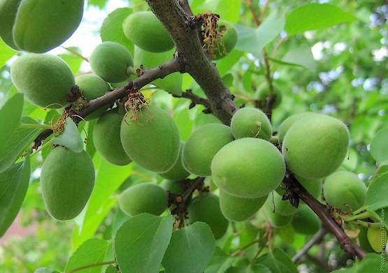 Зелёные абрикосы