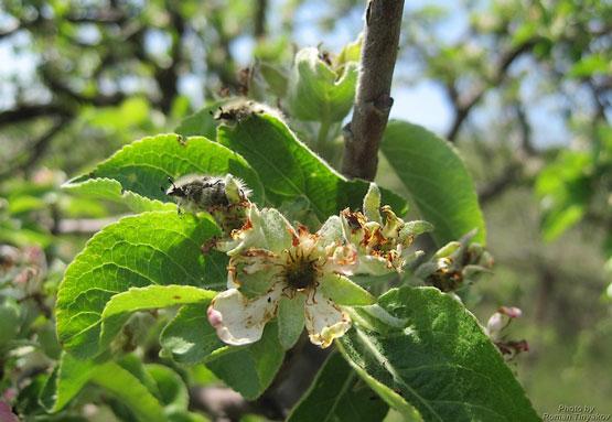 Мохнатые Алёнки на яблоне