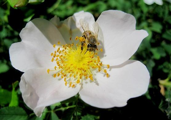 Пчела в шиповнике