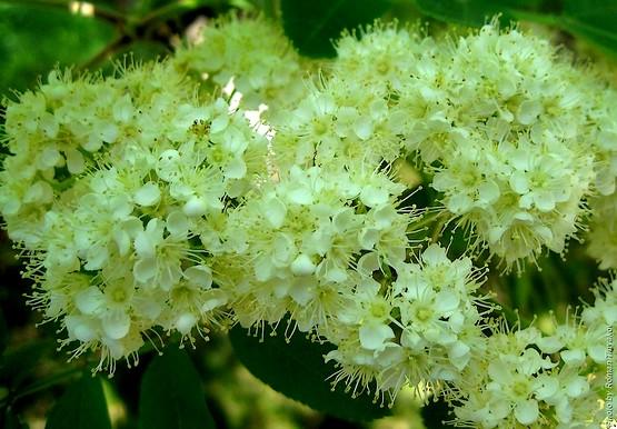 Рябина цветёт