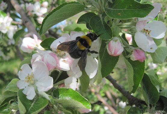 Шмель в цветах яблони