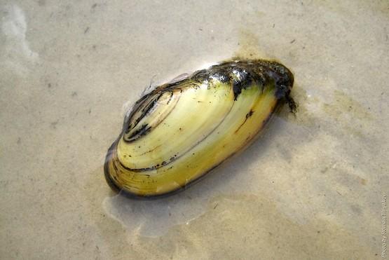 Двустворчатый моллюск