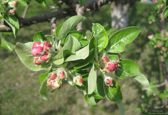 Яблоня за миг до цветения