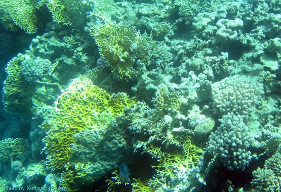 Рыба прячется в кораллах