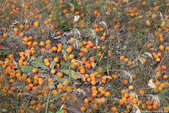 Осыпавшиеся плоды
