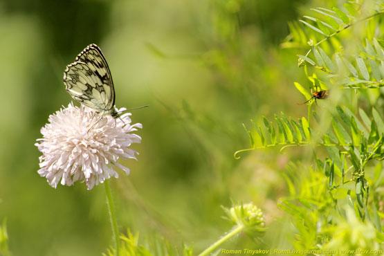 Бабочка под пристальным взглядом жука