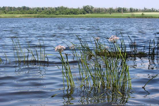 Цветы у берега в воде