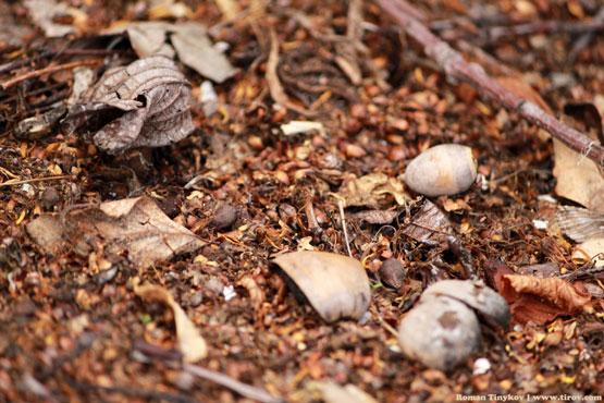 Прошлогодний желудь в куче перегнившего компоста