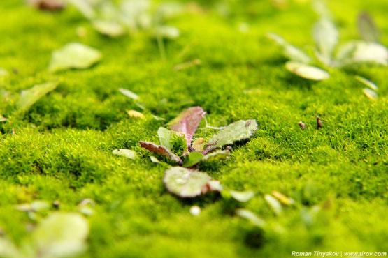 Вечнозелёное растение