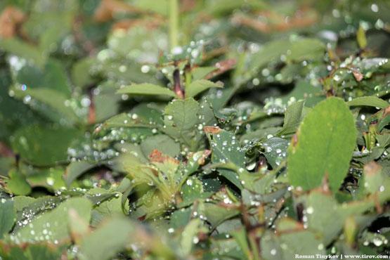 Капли дождя на листьях барбариса