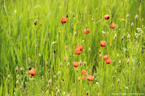 Полянка полевого мака