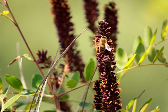 Пчела на цветах аморфы кустарниковой