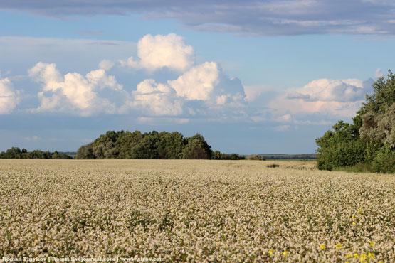 У поля с цветущей гречкой