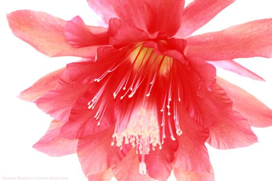 Цветок у эпифиллума