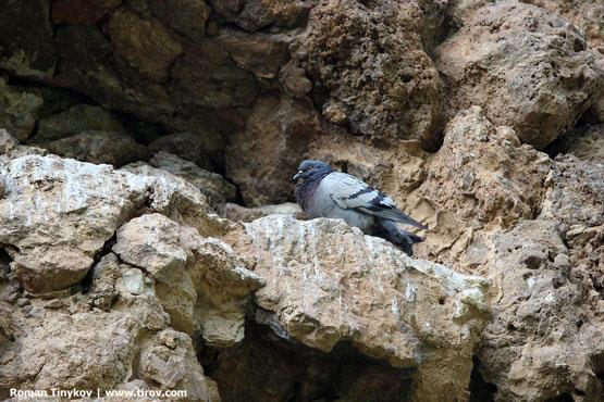 Голубь у гнезда в парке Гуэль
