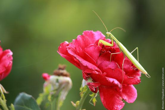 Богомол на розе