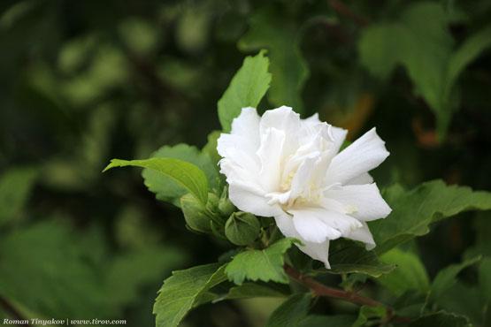 Гибискус белый махровый