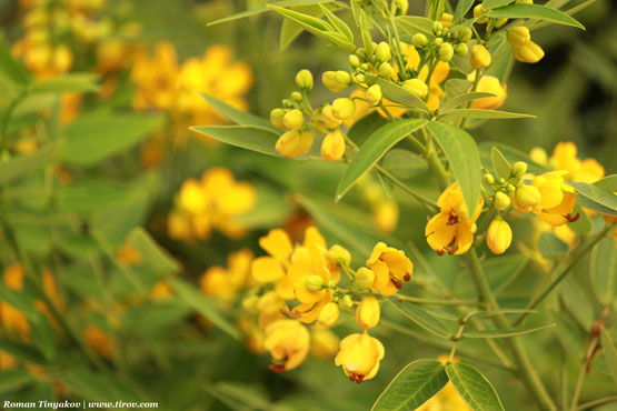 Желтые цветы из Турции