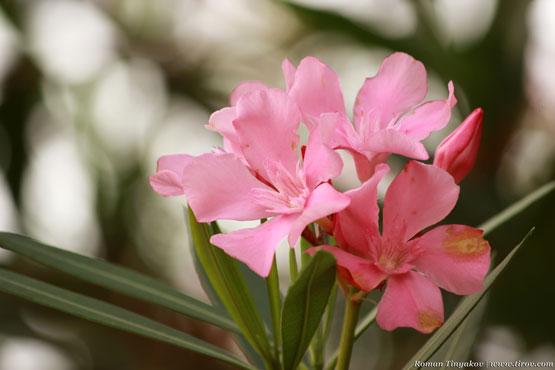 Олеандр цветёт