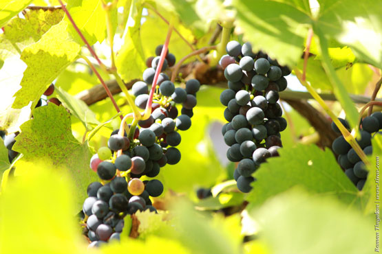 Терпкий виноград