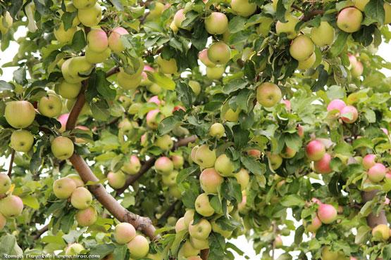 Отличный урожай яблок, ветви усеяны яблоками