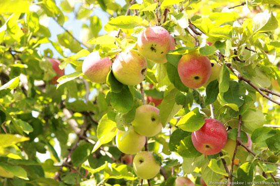 Яблоки в лучах солнца