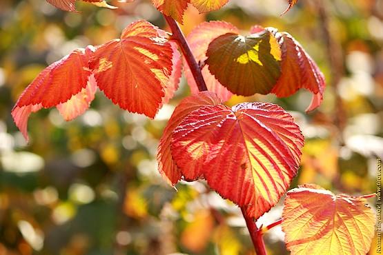 Красные листья малины
