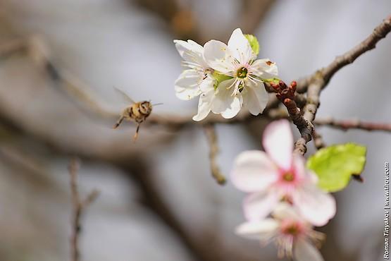 Пчела кружит возле цветов вишни в сентябре