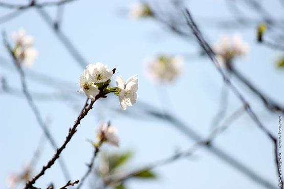 Веточка вишни на фоне голубого неба