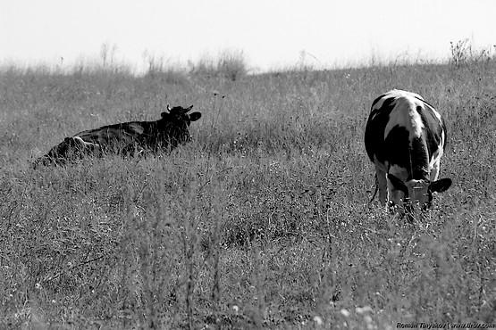 Коровы на лугу в сухой траве