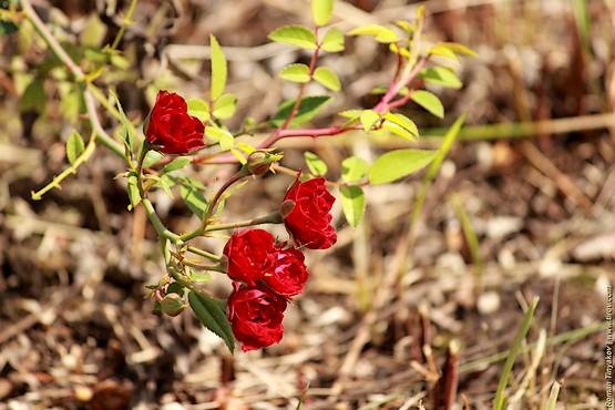 Цветущий кустарник роз