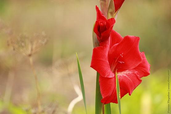 Красный Гладиолус