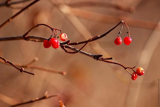 Красные ягоды калины на ветке