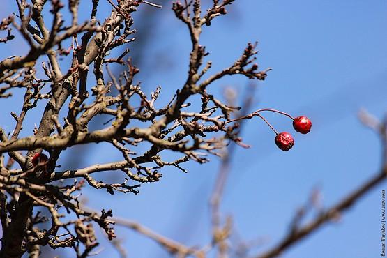 Парочка красных ягод колючего дерева