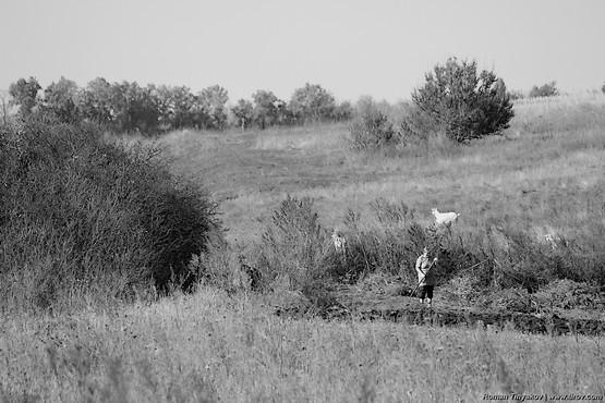 Козы пасутся рядом с людьми занятыми уборкой огорода