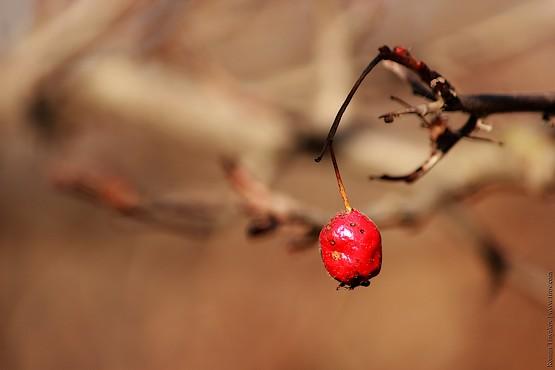 Последняя ягода боярышника