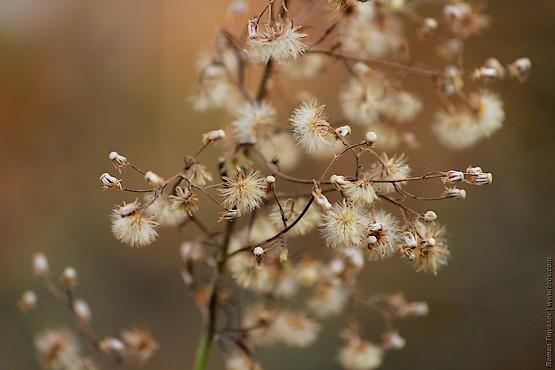 Пушистое растение осени