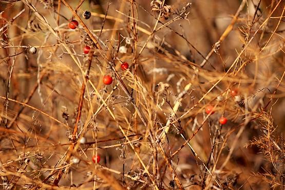 Растение с красными плодами