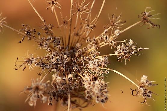 Семена созрели и играют в лучах солнца